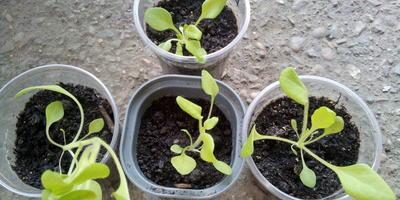 Комплиментуния винно красная F1. IV этап. Рост и развитие растений
