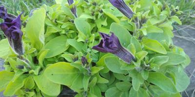 Комплиментуния голубая F1. IV этап. Развитие растений и уход