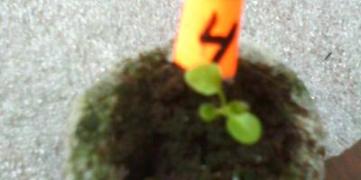 Петуния Анастасия F1. II этап. Всходы, появление настоящих листьев