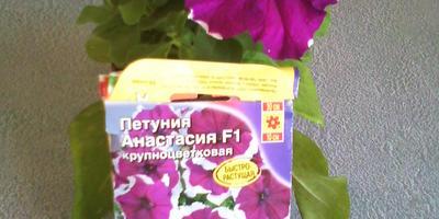 Петуния Анастасия F1. VI этап. Цветение