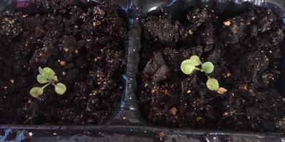 Петуния Синеглазка F1. IV этап. Развитие растений и уход за ними