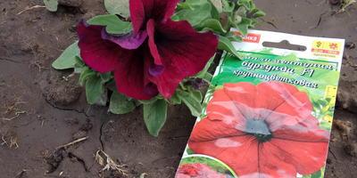 Комплиментуния бургунди F1. V I этап. Цветение. Развитие растений и уход за ними