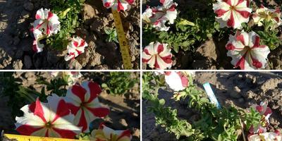 Петуния Марко Поло красно-белая F1. VI этап. Цветение. Развитие растений и уход за ними
