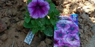 Петуния Варвара Краса F1. VI этап. Цветение. Развитие растений и уход за ними