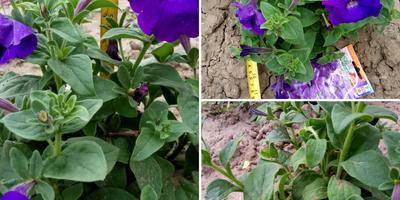 Петуния Синеглазка F1. VI этап. Цветение. Развитие растений и уход за ними