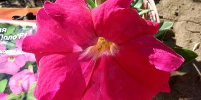 Петуния Марко Поло розовая F1. VI этап. Цветение. Развитие растения и уход за ним