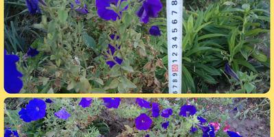 Петуния Синеглазка F1. VI этап. Цветение в сентябре. Развитие растений и уход за ними