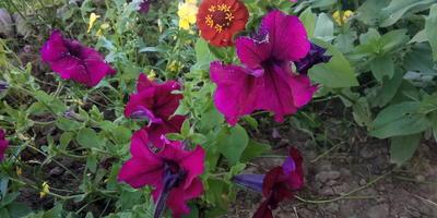 Комплиментуния бургунди F1. VI этап. Цветение. Развитие растений и уход за ними