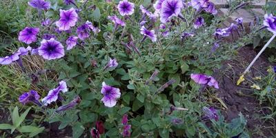 Петуния Варвара Краса F1. VI этап. Цветение в августе-сентябре. Развитие растений и уход за ними