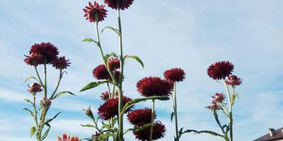 Гелихризум. Цветок-антистресс