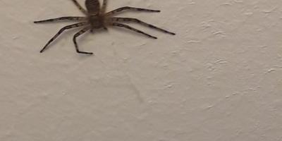 Опасный ли этот паук?