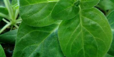 Петуния Татьяна F1. IV этап. Развитие растения и уход за ним