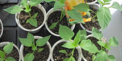 Перец сладкий Большое золото. III этап. Развитие растений и уход за ними. Пикировка рассады