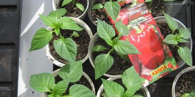 Перец Большой куш. III этап. Развитие растений и уход за ними. Пикировка рассады