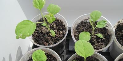Баклажан Черный Великан. III этап. Развитие растений и уход за ними. Пикировка рассады