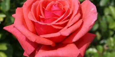 Ищу розу