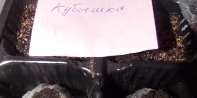 Перец сладкий Кубышка. II этап. Всходы, появление настоящих листьев