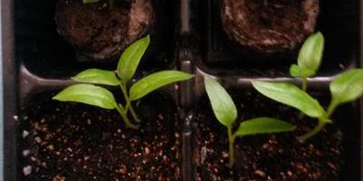 Перец сладкий Кубышка. III этап. Развитие растений и уход за ними. Пикировка рассады