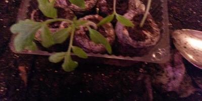 Томат Пышка F1. III этап. Развитие растений и уход за ними. Пикировка рассады (перевалка))