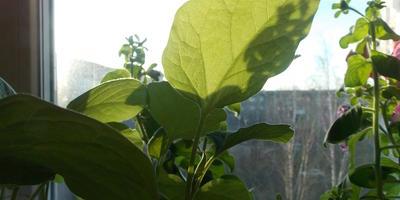 Баклажан Мишутка. III этап. Развитие растений и уход за ними. Болезни