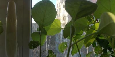 Баклажан Черный великан F1. III этап. Развитие растений и уход за ними. Болезни