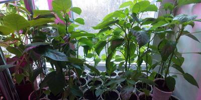 Перец сладкий Кубышка. III этап. Развитие растений и уход за ними