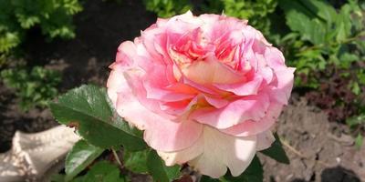 О розе прекрасной замолвите слово… Или английские розы Дэвида Остина