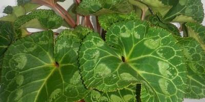Цикламены и глоксинии из семян