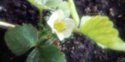 Первые ягодки