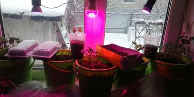 Эксперимент начинающего садовода. Огород на окне и фитолампа мне в помощь