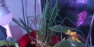Домашнее задание №7: мой огород на подоконнике (а теперь уже и за пределами окна)