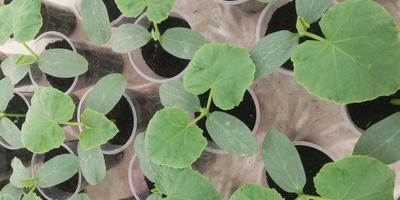 Возникли проблемы с рассадой огурцов, помогите разобраться