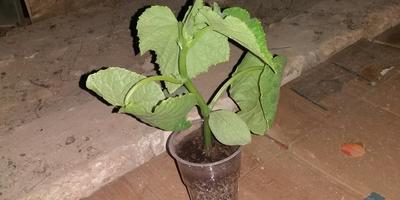 Почему у рассады огурца деформируются листья?