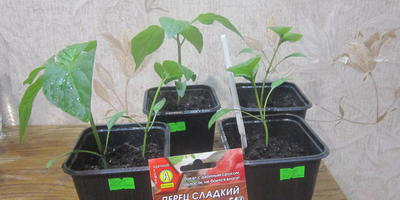 Перец сладкий Чудо Великан F1. III этап. Развитие растений и уход за ними