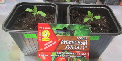 Томат Рубиновый кулон F1. III этап. Развитие растений и уход за ними