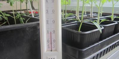 Томат Рубиновый кулон. III этап. Развитие растений и уход за ними