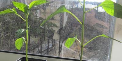 Перец сладкий Дед Мороз. IIIэтап. Развитие растений и уход за ними