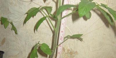 Томат Амурский тигр. Этап III. Развитие растений и уход за ними (Продолжение)