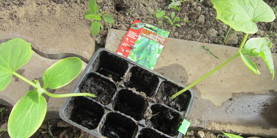 Огурец Зеленая гирлянда F1. III этап. Развитие растений и уход за ними