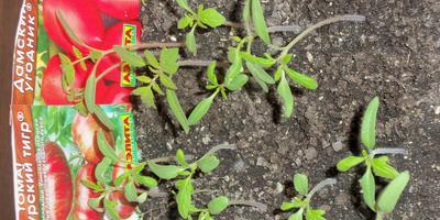 Томат Амурский тигр. 3 этап. Развитие растений и уход за ними. Пикировка рассады