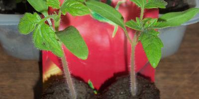 Томат Северёнок F1, первого посева. III этап. Развитие растений и уход за ними. Пикировка