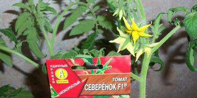 Томат Северёнок F1. III этап. Развитие растений и уход за ними после пикировки