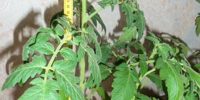 Томат Снежный барс. 3 этап. Развитие растений и уход за ними после пикировки