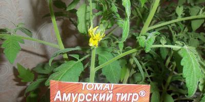 Томат Амурский тигр. III этап. Развитие растений и уход за ними после пикировки