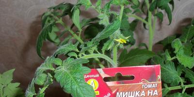 Томат Мишка на Севере F1. 3 этап. Развитие растений и уход за ними после пикировки