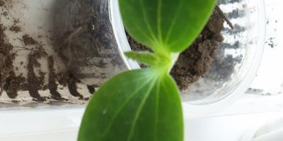Кабачок белоплодный Дядя Фёдор. 2 этап. Всходы, появление настоящих листьев