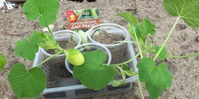Кабачок белоплодный Дядя Фёдор. III этап. Развитие растений и уход за ними