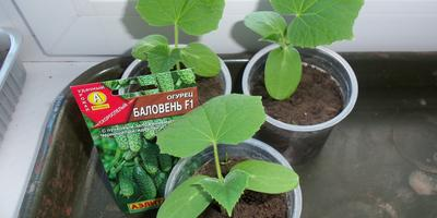 Огурец Баловень F1. III этап. Развитие растений и уход за ними