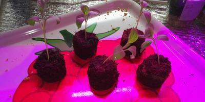 Баклажан Черный великан F1. III этап. Развитие растений и уход за ними. Пикировка