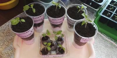 Баклажан Мишутка. III этап. Развитие растений и уход за ними. Пикировка